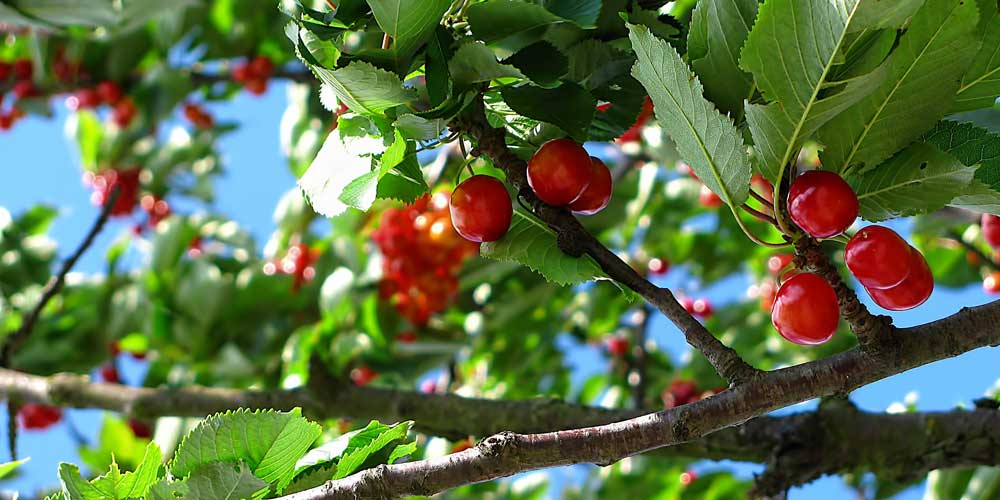 Planting Fruit Trees For Your Garden